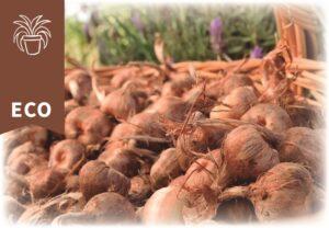 Bulbos de Azafrán Ecológicos